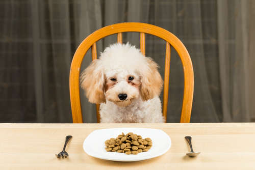 【獣医師監修】トイ・プードルの食欲がない? ご飯を食べない理由と対処法