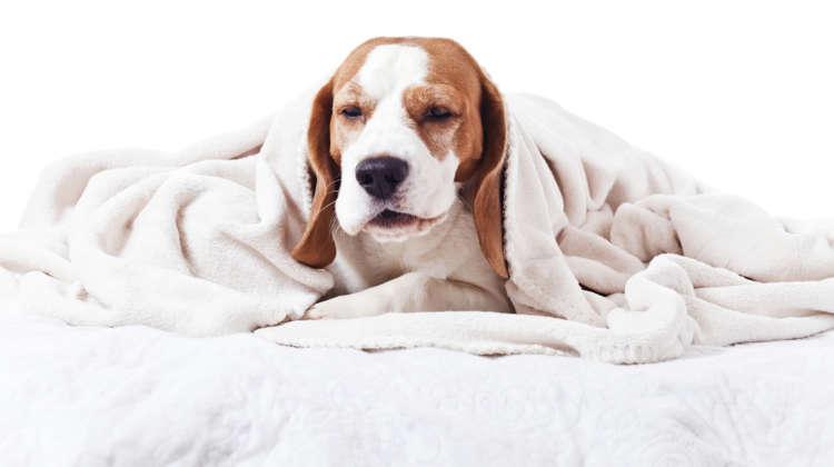 犬の呼吸がおかしい? 逆くしゃみの原因や考えられる病気、治療法、予防法について
