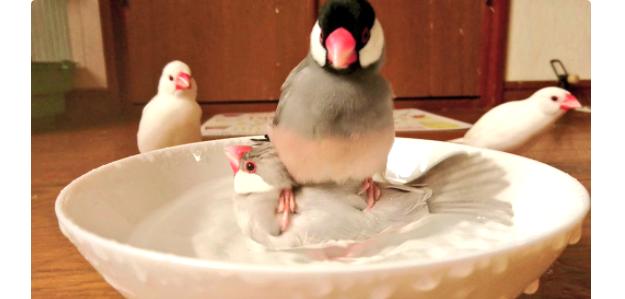 水浴びをしている文鳥の元に、お友達がやってきた! その着地点がスゴいと話題に…♡(画像6枚)