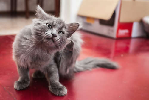 猫のノミ事情。症状や原因、治療法、予防法について