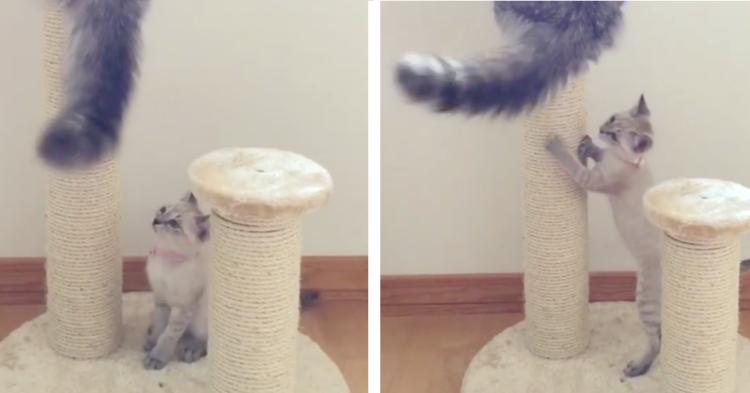 【尻尾じゃらし♡】兄猫のモフモフ尻尾から目が離せない子猫!この後とった行動が…(; ・`д・´)笑