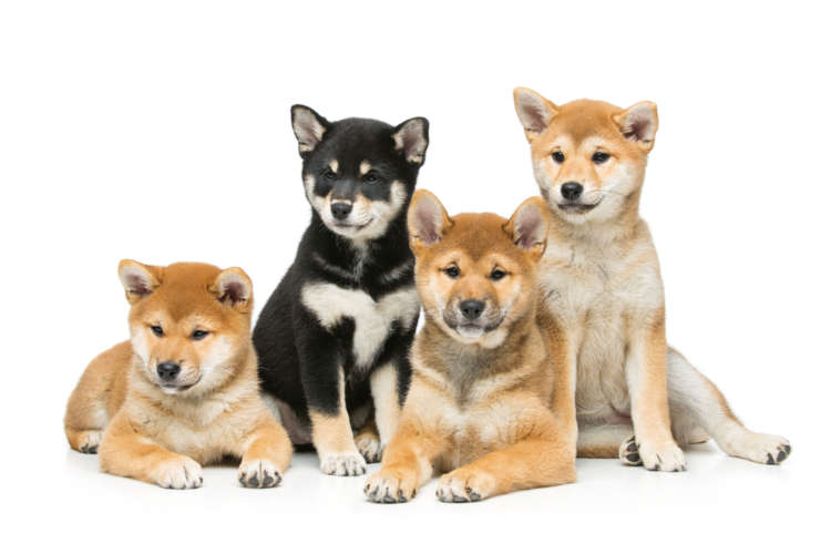 様々な色や大きさ。意外と知らない柴犬の種類について