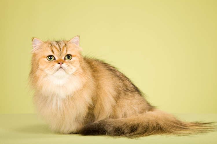 もっふもふなチンチラってどんな猫? ペルシャとは違うの?