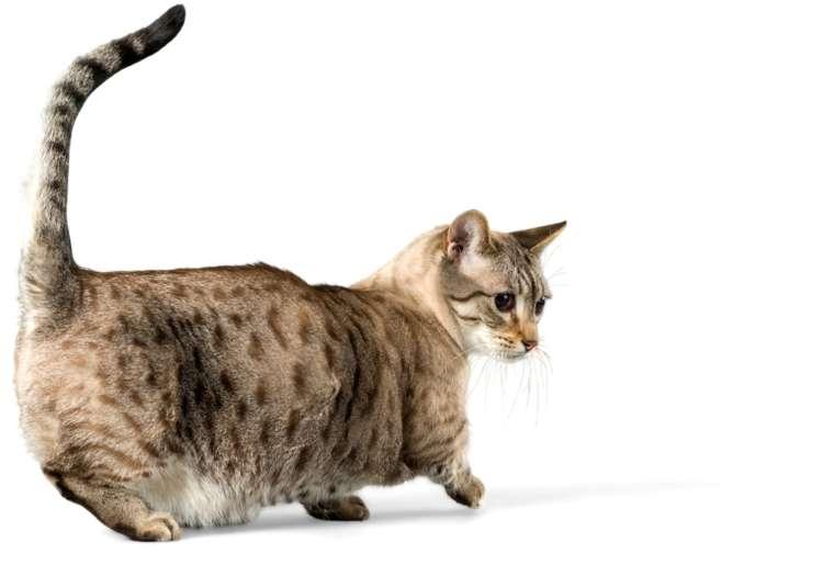 愛嬌たっぷりの短足猫、マンチカンが大人になったらどうなる?