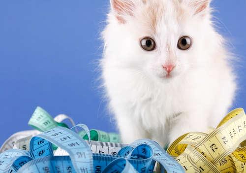 猫の理想的な体重はどのくらい?  肥満を予防するためには