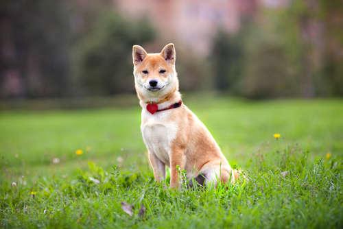 柴犬の理想体重は何キロくらい? ダイエットの方法なども解説