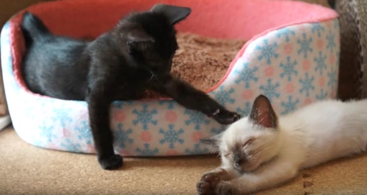 一緒に遊ぼうと、寝ている子にネコパンチをする黒猫ちゃん! → でも、まさかの結末に…(`;ω;´)