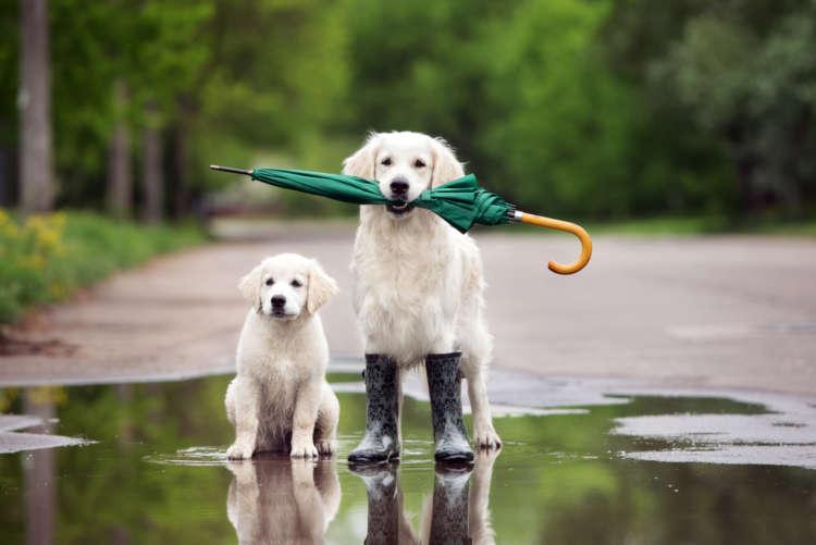 雨の日もへっちゃら。犬のレインコート、その作り方を紹介します!