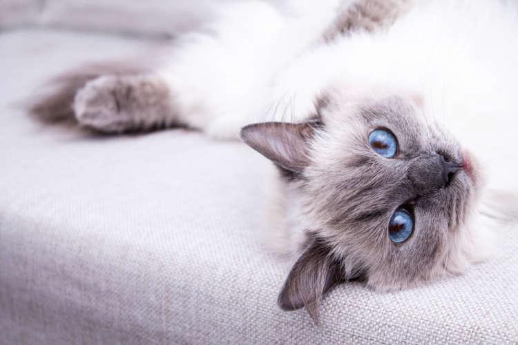 ラグドールってどんな猫? 歴史やカラダの特徴について