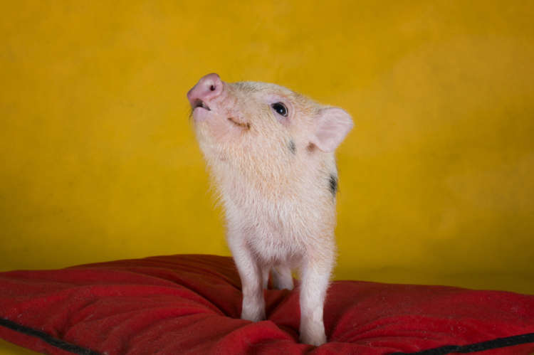 マイクロブタの特徴や性格、飼い方について