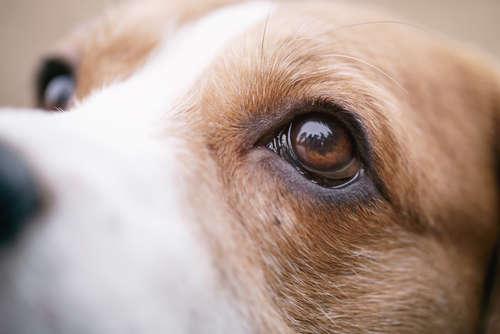 【獣医師監修】犬の目が充血している。疑われる病気とケアの方法
