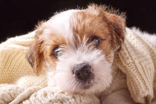 犬の目が白い。疑われる病気とケアの方法について