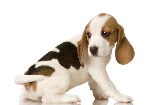 犬の局部から黄色い膿が出てきた。包皮炎の予防法や治療法
