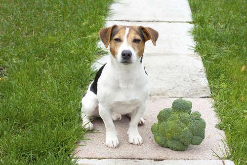犬にブロッコリーを与えていい? ブロッコリーのメリットと注意点について