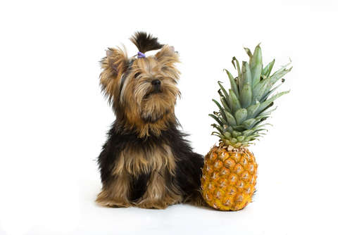 【獣医師監修】犬にパイナップルを与えていい? パイナップルのメリットと注意点について