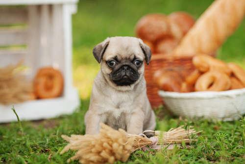 【獣医師監修】犬にパンを与えていい? 犬にパンを与える際の注意点について