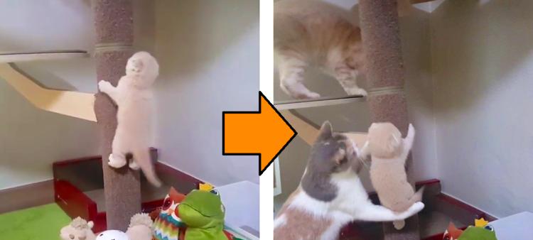 【過保護すぎた♡】がんばってキャットタワーを登る子ネコ → そこに大人ネコがやって来て…(;´∀`)