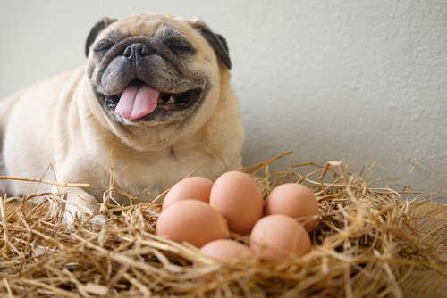 犬に卵を与えてもいい? 卵の注意点について