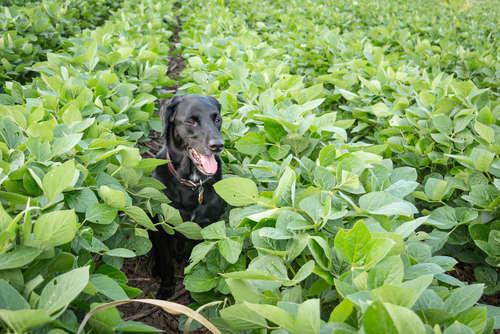 【獣医師監修】犬に枝豆を与えてもいい? 枝豆のメリットと注意点について