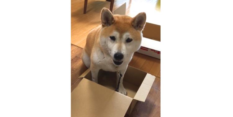 【視線で訴える♡】大好きなダンボール箱に入ろうとした柴犬 → でも箱が小さいと分かると…(;´∀`)