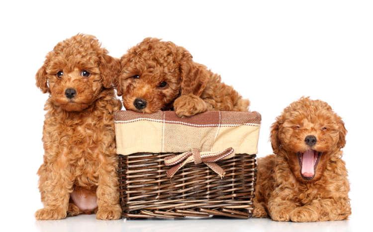 【獣医師監修】トイ・プードルを育てよう! 赤ちゃんのお世話の方法について