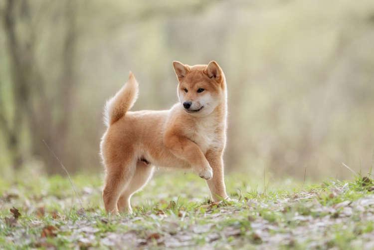 【獣医師監修】柴犬の性格や飼い方、しつけについて。基本を知って仲良くなろう
