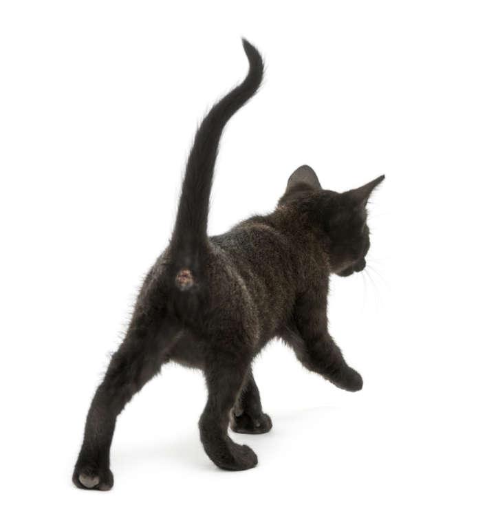 猫のおしりがクサイ。おしりのニオイの原因や、考えられる病気など