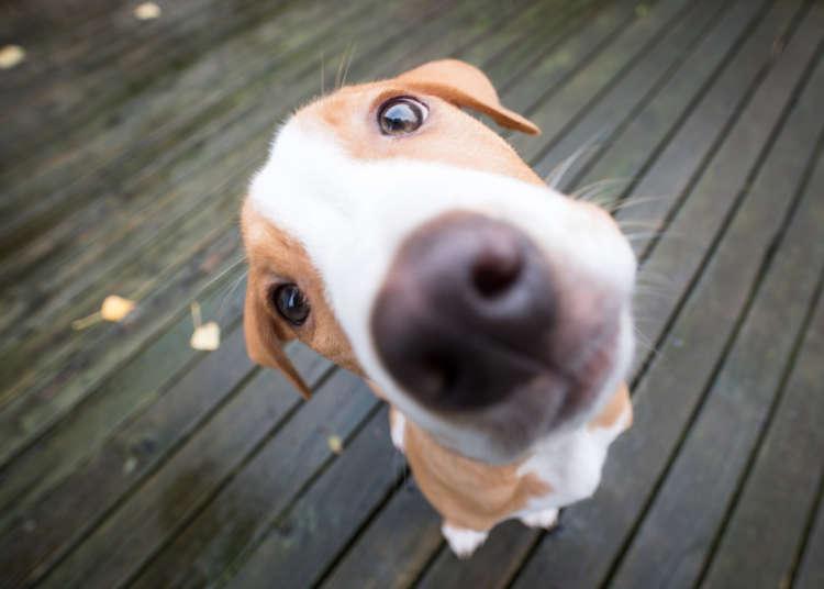 犬の目の下の腫れ。その症状から疑われる病気とケアの方法