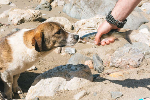 犬に魚を与えても大丈夫? 魚のメリットと注意点について