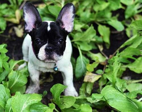 犬にほうれん草を与えても大丈夫? ほうれん草のメリットと注意点について