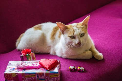 猫にチョコレートは食べさせてはいけません!  チョコの有毒性について