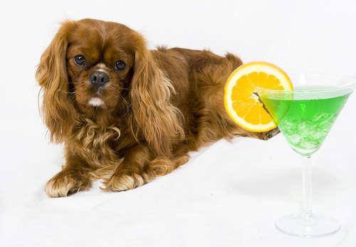 誤飲に注意! 犬にアルコールは絶対に与えてはいけません