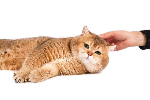 猫の耳疥癬(耳ダニ感染症) 考えられる原因や症状、治療法と予防法