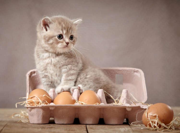猫に卵を与えていい?  卵のメリットと注意点について