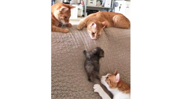 【みんなで見守り中】ソファを登ろうとする子猫を見つめ、心配する猫たち。温かすぎる光景にホッコリ♡