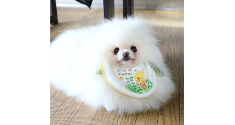 【うごく綿毛ちゃん♡】真っ白なポメラニアン! モフモフのボリュームが、スゴかった(*´﹃`*) 9枚