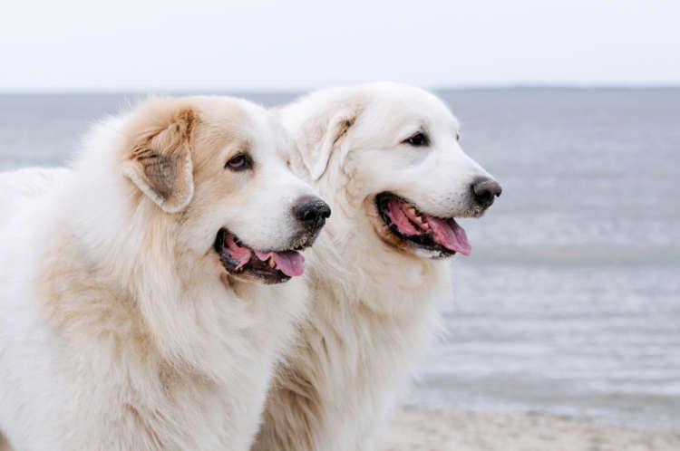【獣医師監修】グレート・ピレニーズの飼い方としつけについて 基本を知って仲良くなろう