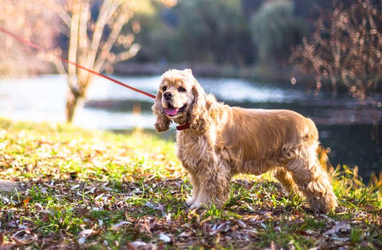 【獣医師監修】アメリカン・コッカー・スパニエルの飼い方としつけについて 基本を知って仲良くなろう