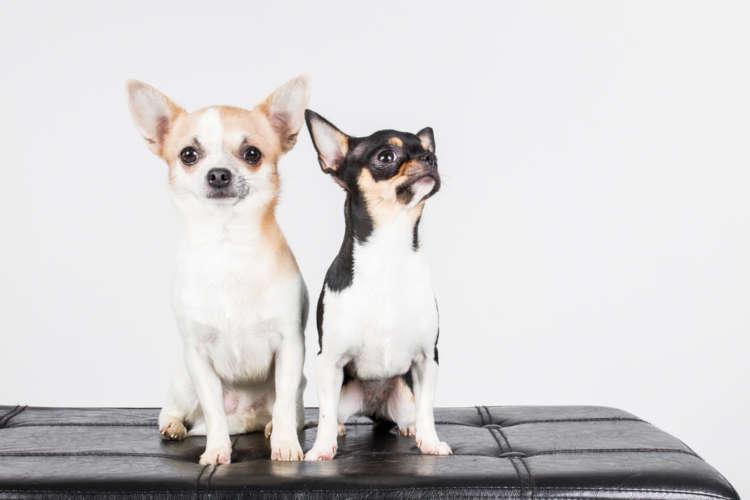 【獣医師監修】チワワと長く暮らすために知っておきたい病気や寿命