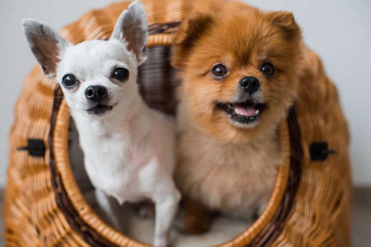 【獣医師監修】犬の去勢手術 時期や方法、費用、術後のケアについて