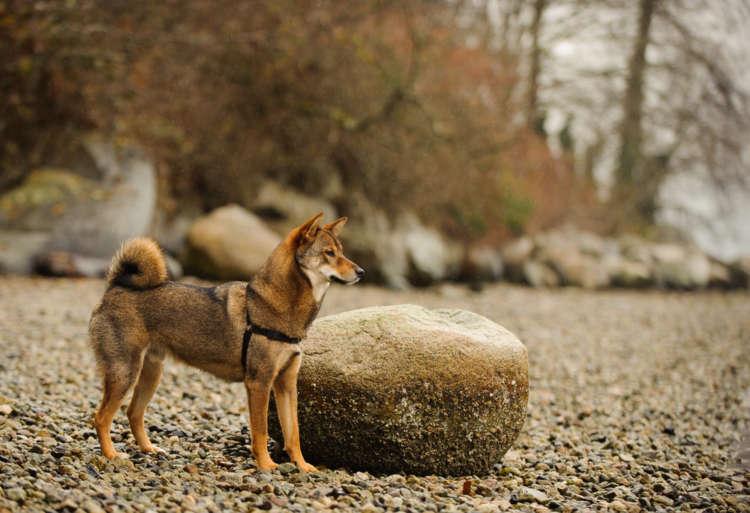 珍しい胡麻毛の柴犬。普通の柴犬と性格などに違いはある?