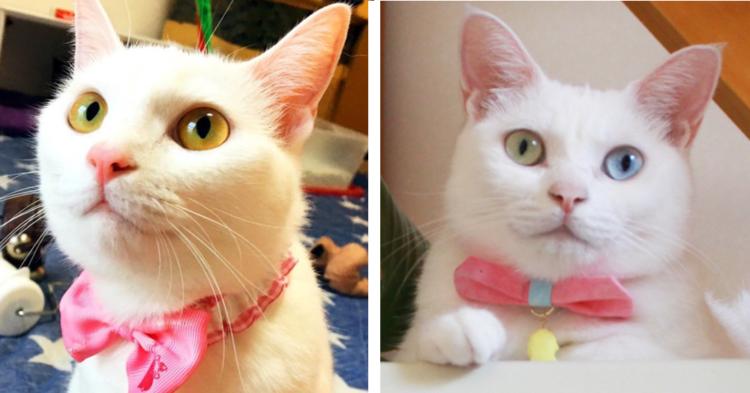 【ピンクのリボンがよく似合う♡】美しい白ネコたちの、お洒落なかわいさにキュンとする画像集(7枚)
