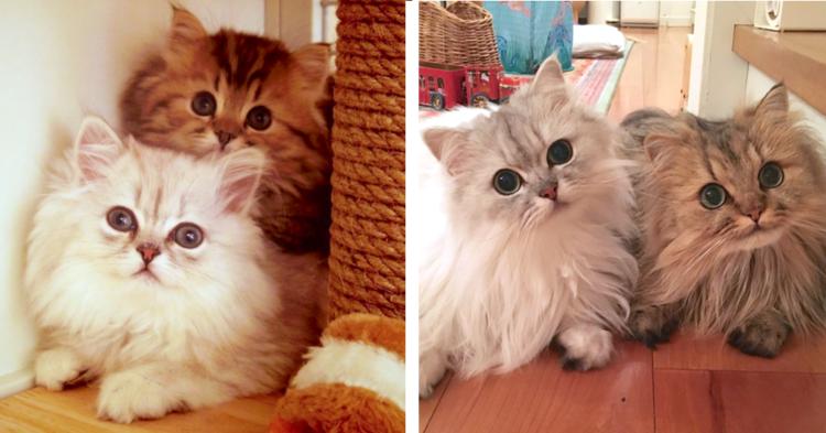 【一心同体♡】いつでも一緒なネコの兄弟。動作や仕草までそっくりな2匹の、心温まる日常風景(11枚)