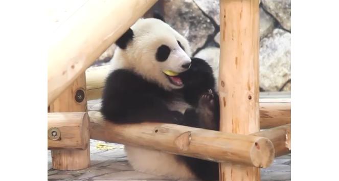 【リンゴがお口に入らない!】まさかの事態、パンダの見つけた解決策が… かわいすぎた(*´艸`*)♡
