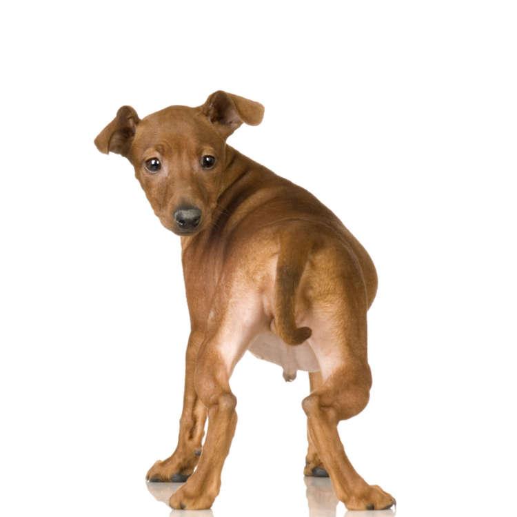 犬のおしりから血が出ている。肛門嚢炎の症状・原因・治療法・予防法