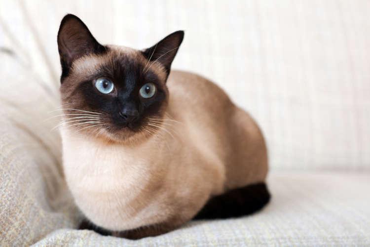 シャムってどんな猫? 歴史やカラダの特徴について