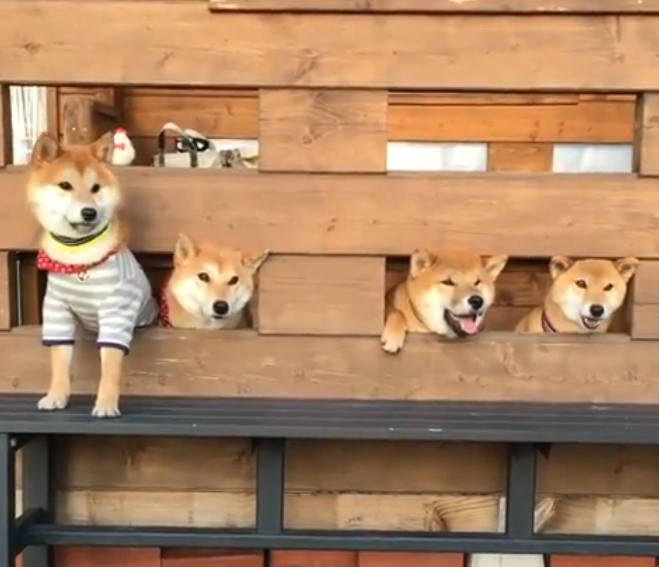 【ひょっこり♪】隙間からヒョコヒョコ顔を出す柴犬軍団。可愛すぎるシャッターチャンスをご覧あれ!