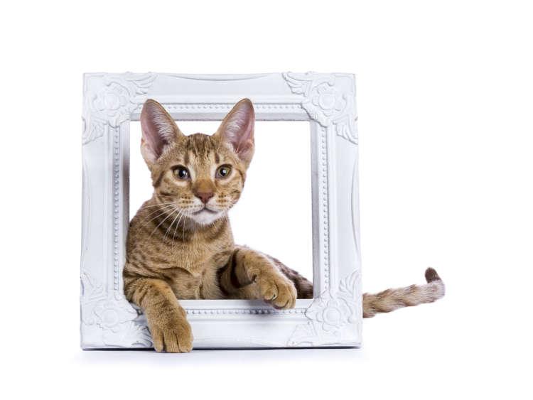 オシキャットの特徴や性格、飼い方について