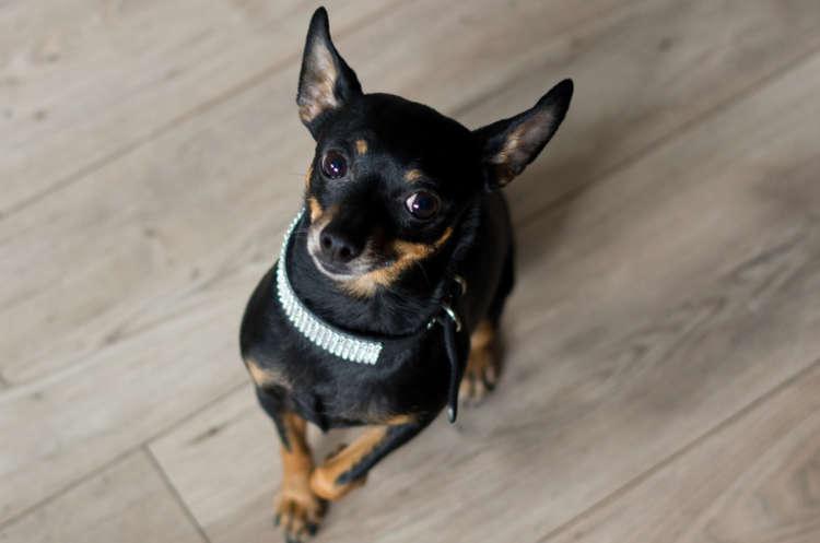 室内犬にも首輪は必要? 首輪を付けるメリットとおすすめショップの紹介