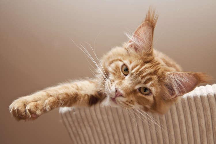 猫の耳先から伸びた耳毛。じつは「リンクスティップ」というんです